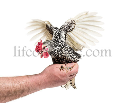 Sebright chicken, against white background