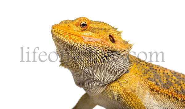Pogona lizard , 11 months old, against whit background against white background