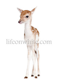 Fallow Deer Fawn, Dama dama, 5 days old, standing against white background, studio shot