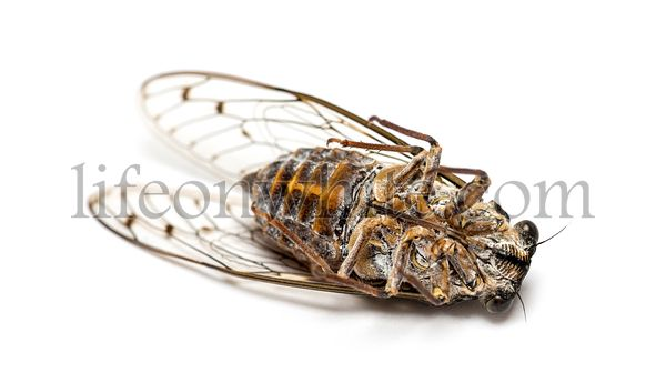on its back grey Cicada, isolated on white