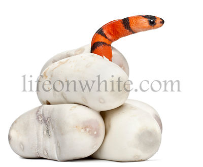 Hypomelanistic milk snake or milksnake, lampropeltis triangulum hondurensis, 1 minute old, in front of white background