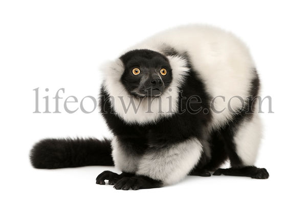 Northern black-and-white ruffed lemur, Varecia variegata, 24 years old, in front of white background