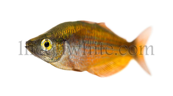 Eastern Rainbowfish, Melanotaenia splendida splendida, isolated on white