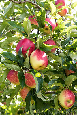 Malus-Apples  'Delbar estival' in an orchard, France, summer