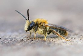 Lateral closeup of a male of the early or orange tailed mining bee, Andrena haemorrhoa