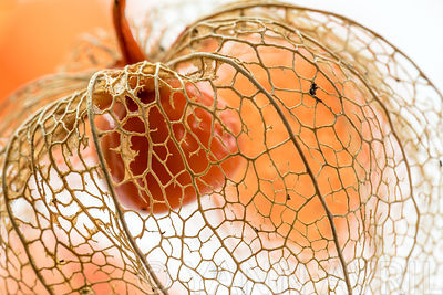 Physalis alkekengi-Drying Chinese lantern flower seed casing