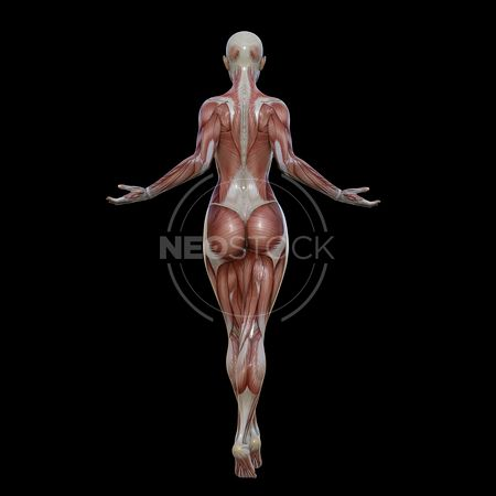 cg-body-pack-female-muscle-map-neostock-4