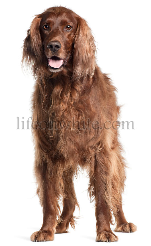 Irish Setter, 5 years old, panting in front of white background