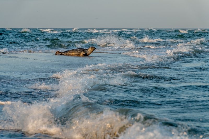 Seals in Skagen, Denmark 11