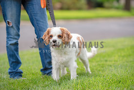 cavalier king charles spaniel on leash standing next to owner
