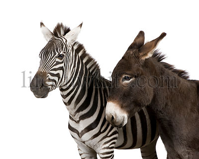 a Zebra (4 years) and a donkey (4 years)