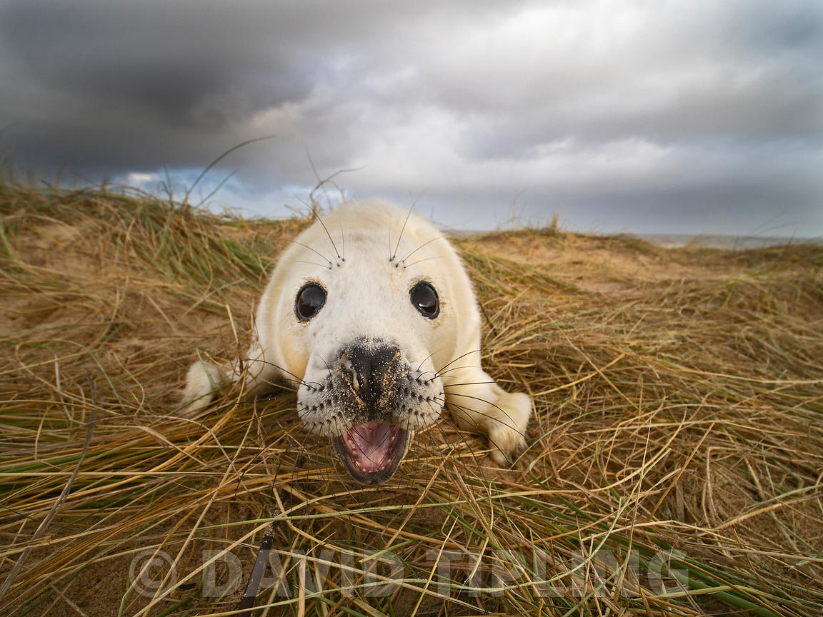 Grey Seal  Halichoerus grypus pup North Norfolk January