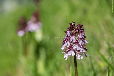 orchis_pourpre-49