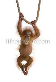 Baby Sumatran Orangutan (4 months old), hanging on a rope, studio shot