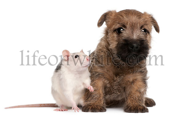 Cairn Terrier Puppy, 6 weeks old, and a rat in front of white background