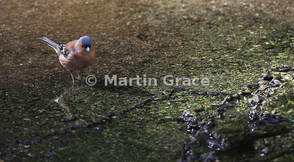 Male Common Chaffinch (Fringilla coelebs) foraging in a hot volcanic spring, Waimangu Volcanic Valley near Rotorua, Bay of Pl...