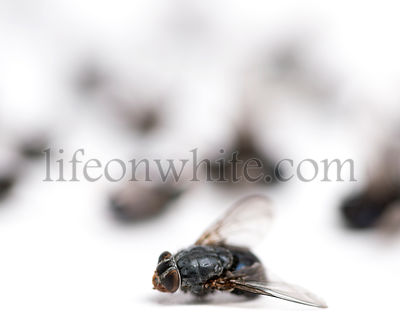 Dead fly, isolated on white