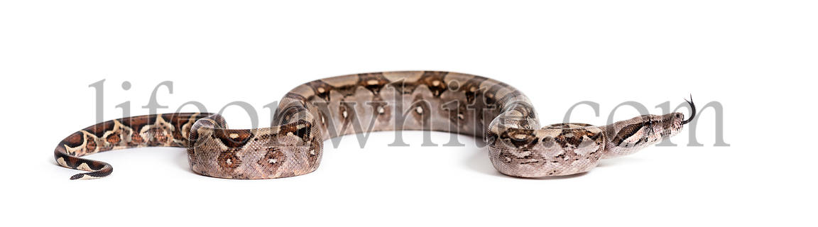 Common boa, Boa constrictor, against white background