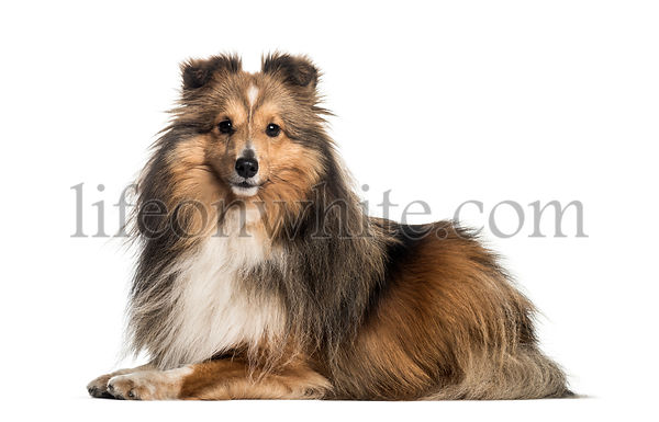 Shetland Sheepdog, 3 years and 6 months old, lying in front of white background