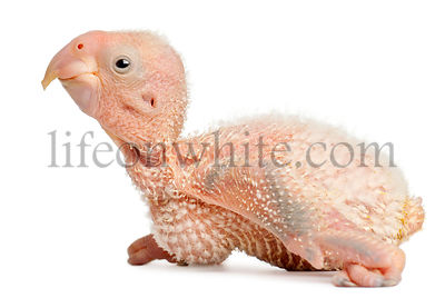 African Grey Parrot, Psittacus erithacus, 17 days old, in front of white background