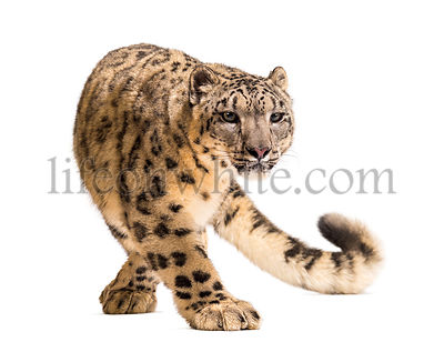 Snow leopard, Panthera uncia, also known as the ounce walking against white background