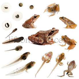 Composition of the complete evolution of a Moor frog in front of a white background
