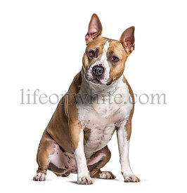 Sitting American Staffordshire Terrier, isolated on white