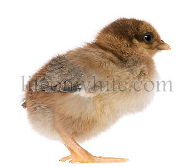 Chick, 4 days old, standing in front of white background