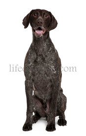 German Shorthaired Pointer, 5 years old, sitting in front of white background