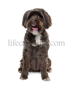 Tibetan Terrier, 3 years old