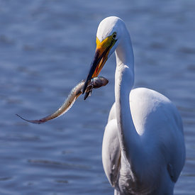 Mjallhegri_-_Great_White_Heron_fishing_-_emm.is-6