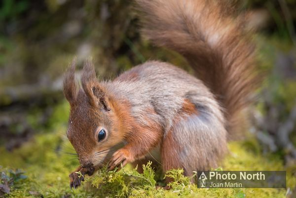 SQUIRREL 01A - Red squirrel