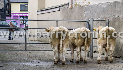 19th September 2015.–Kingscourt Mart, kingscourt, County Cavan. Pictured are three of the highest selling animals that day wa...
