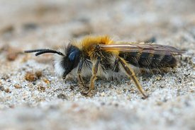 Closeup of a male of the White-bellied Mining Bee, Andrena gravida
