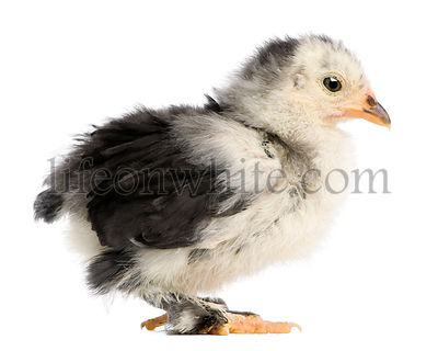 The Pekin is a breed of bantam chicken, 21 days old, standing in front of white background