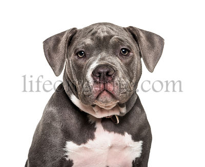 Young American Bully against white background