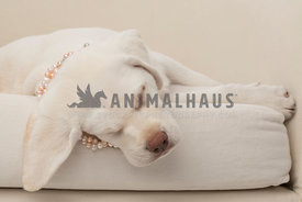 Cream Laborador puppy wearing pearls sleeping on cream color chair