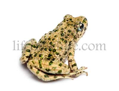 Common parsley frog