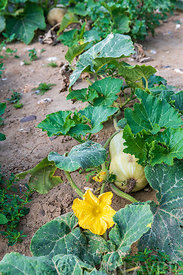 Butternut squash in an organic vegetable garden, summer,∞Courge Butternut dans un potager, France, Pas de Calais, été
