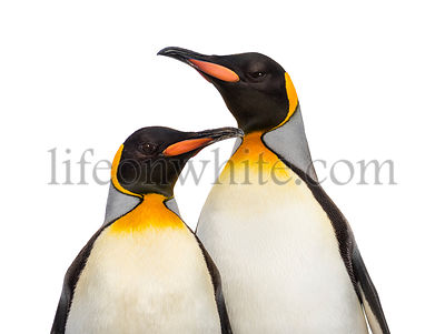 Close-up of two king penguins, isolated on white