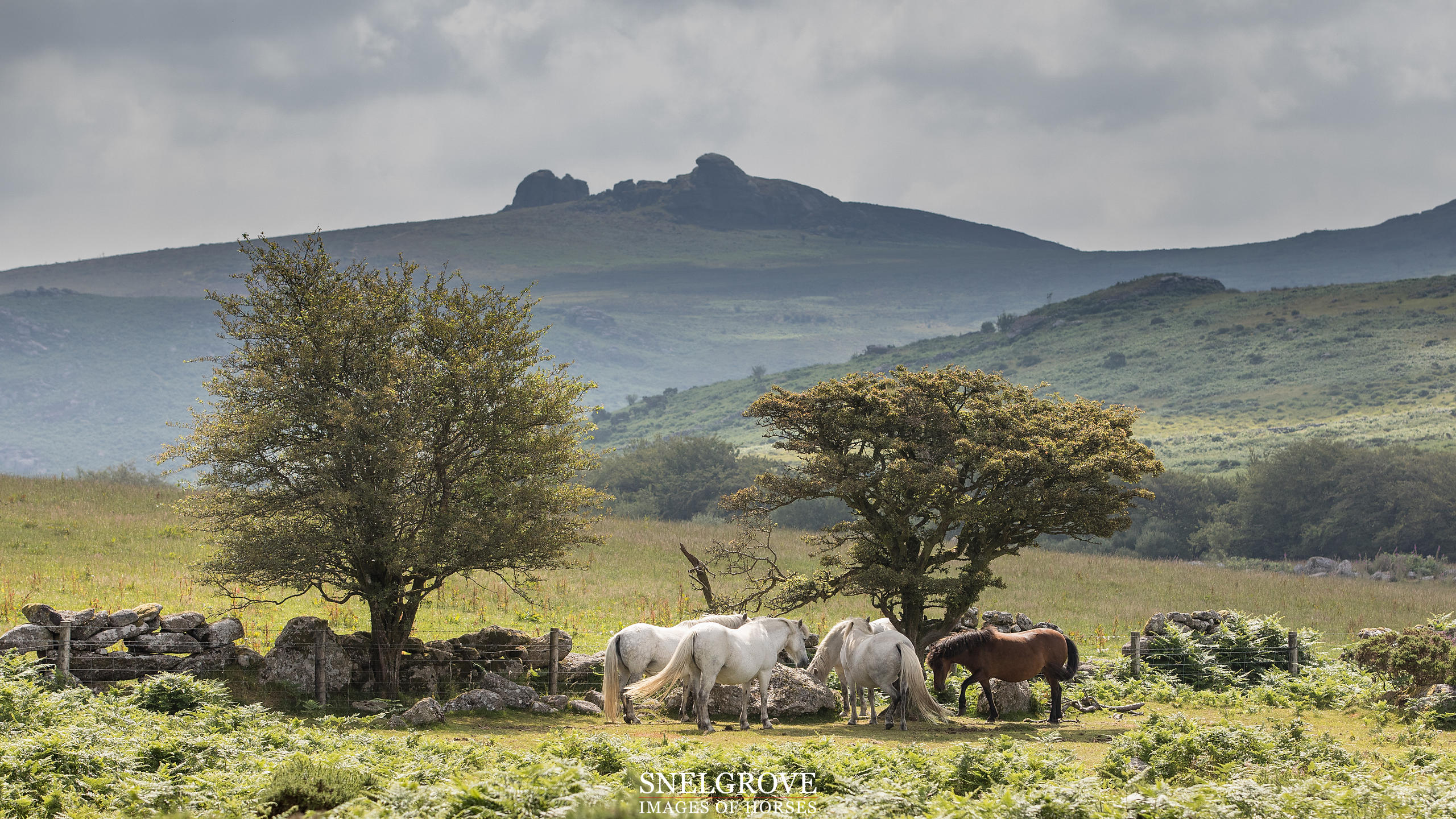 Dartmoor Herd with Haytor