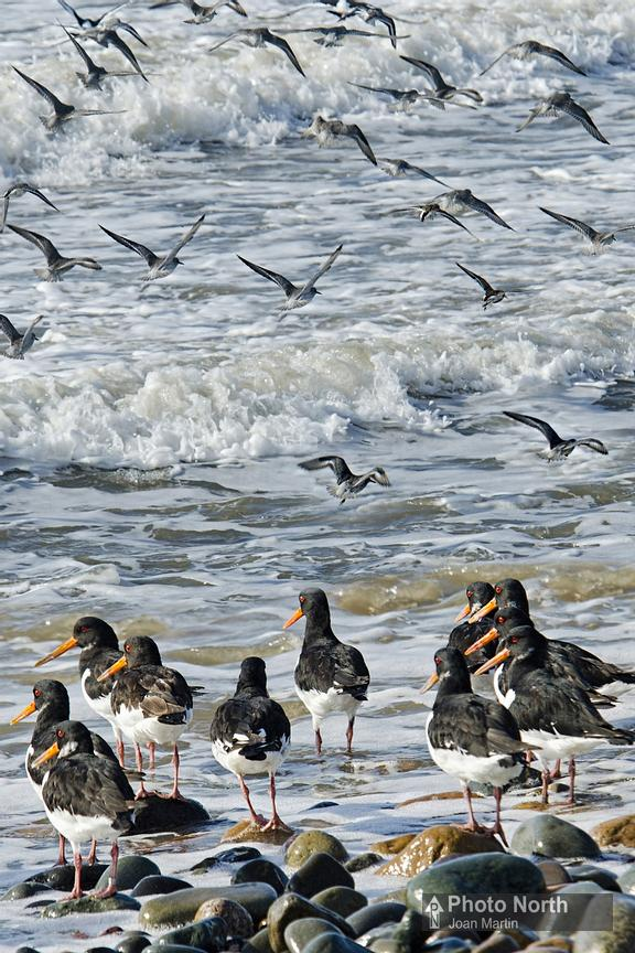 OYSTERCATCHER 10A - Oystercatchers and Knots