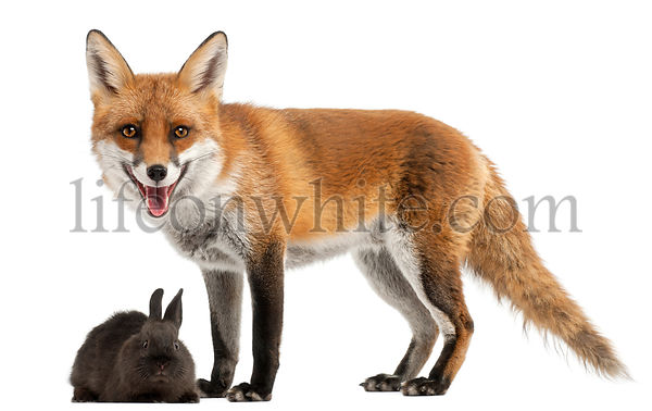 Red Fox, Vulpes vulpes, 4 years old, playing with a rabbit in front of white background