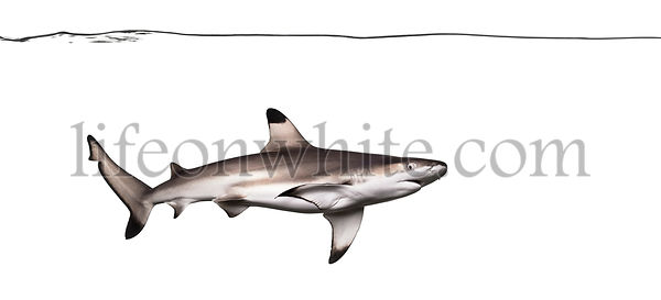 Blacktip reef shark swimming under water line, Carcharhinus melanopterus, isolated on white