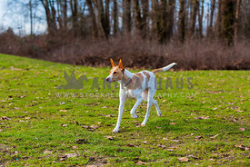 skinny dog running in the park