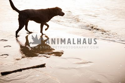 A black lab walking on the beach towards the water