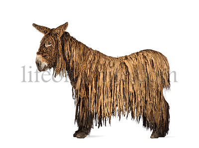Side view of a Poitou donkey,  isolated on white