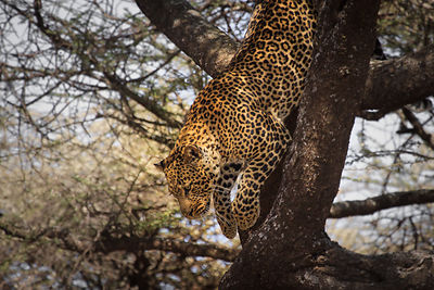 The Jump of the Leopard