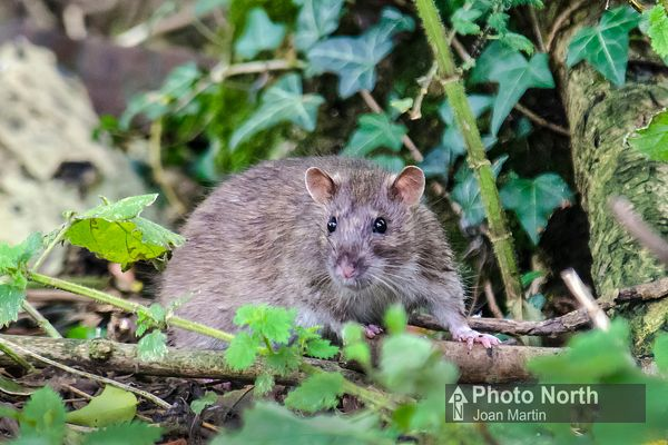 RAT 01A - Brown rat