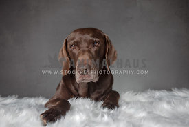 close up of older chocolate lab laying on white fluffy rug grey background